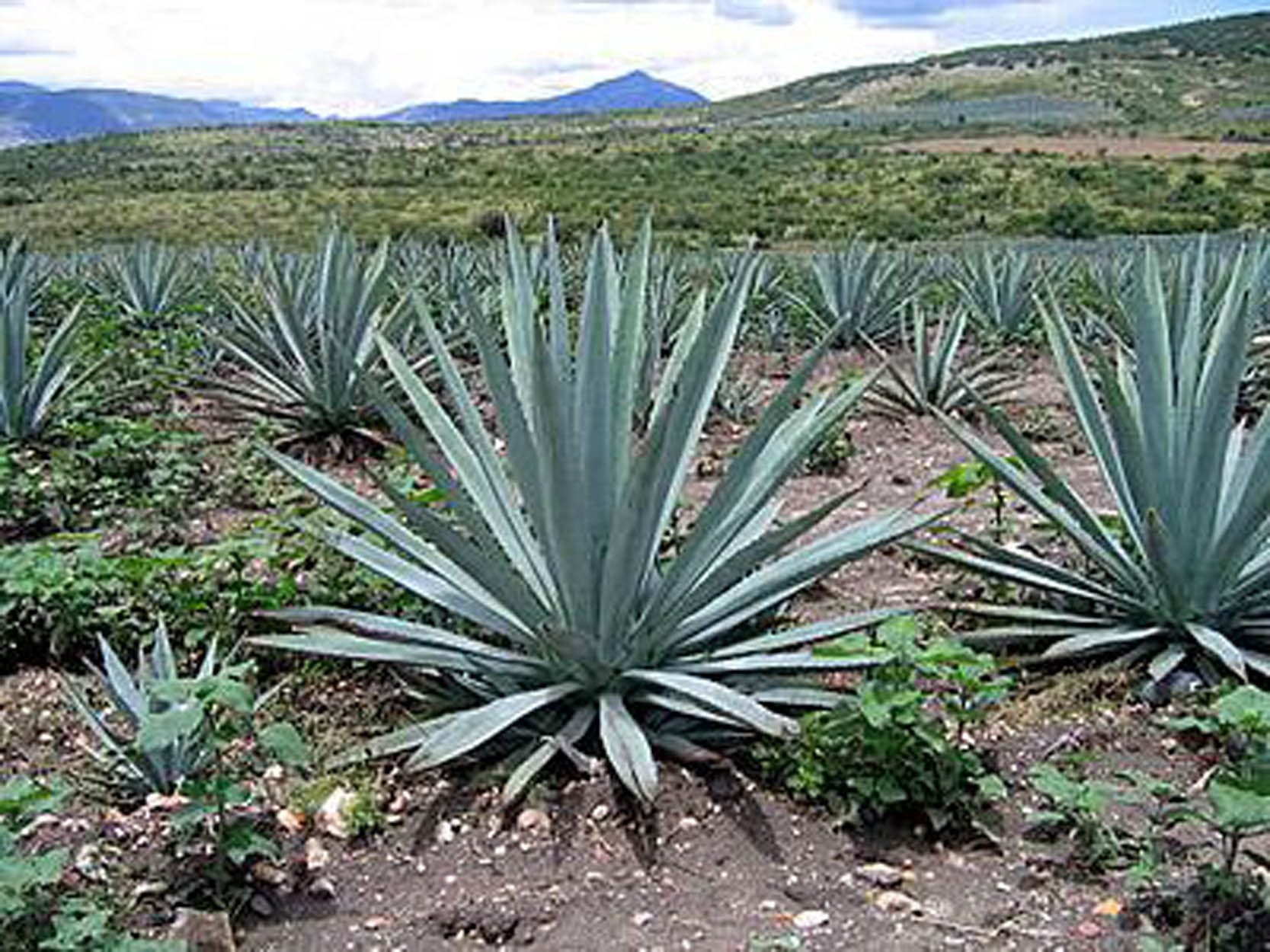 Maguey on Pinterest | Agaves, Aloe and Tequila