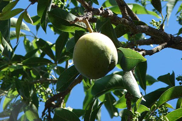 La decocción y las semillas de los vegetales de origen Casimiroa, como el zapote en todas sus variedades, tienen propiedades antihipertensivas, sedantes, hipnóticas e, incluso, contra el insomnio.